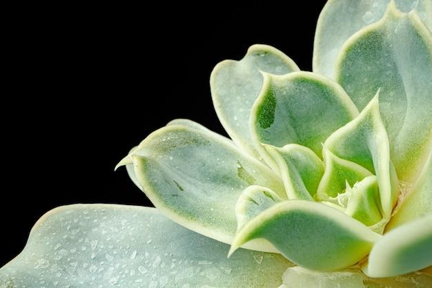 Małe rośliny soczyste na czarnym tle, fotografia makro