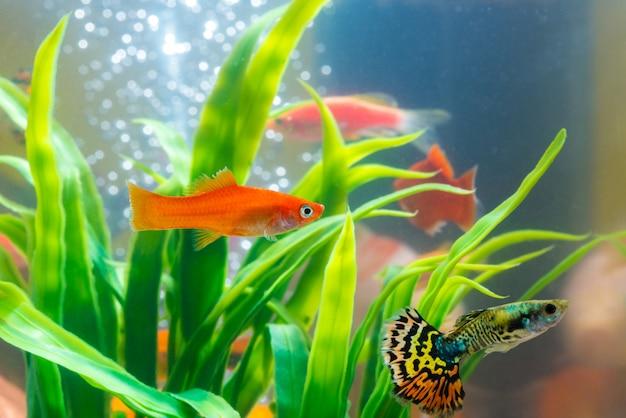 Małe rybki w akwarium lub akwarium, gupik