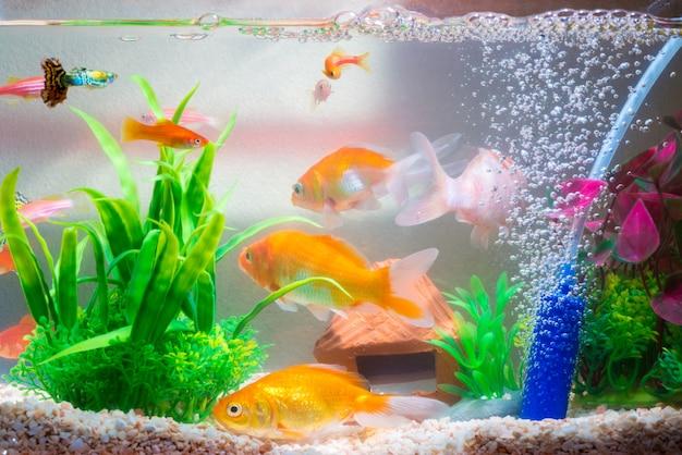 Małe ryby w akwarium lub akwarium, złota ryba, gupik i czerwona ryba, fantazyjny karp