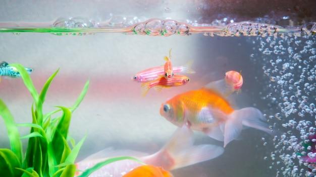 Małe ryby w akwarium lub akwarium, złote ryby, gupiki i czerwone ryby