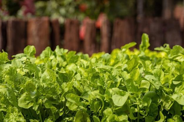 Małe sadzonki sałaty uprawiane w glebie