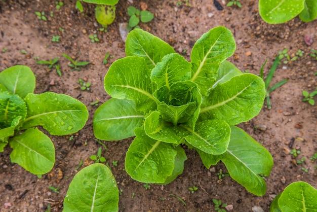 Małe sadzonki zielonej sałatki w ogrodzie warzywnym