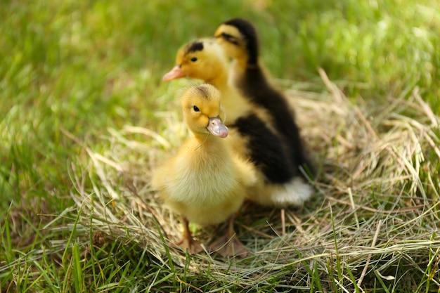 Małe słodkie kaczuszki na sianie, na zewnątrz