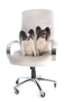 Małe słodkie psy siedzi na krześle