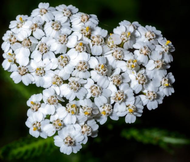 Małe spontaniczne białe kwiaty w kształcie serca na wiejskiej łące.