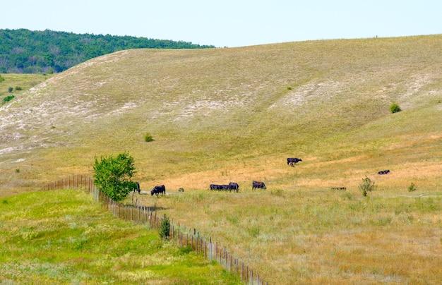 Małe stado czarnych krów pasie się na zboczu wzgórza w letni dzień. żywienie bydła na zewnątrz.