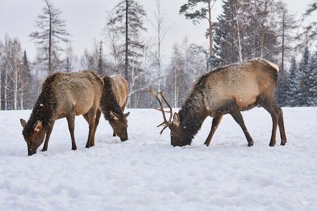 Małe stado jeleni maralowych pasie się na zimowej leśnej polanie podczas opadów śniegu