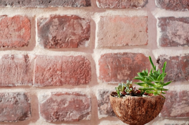 Małe sukulenty sadzić w łupinach orzecha kokosowego na tle ceglanego muru. widok z boku z bliska, skopiuj miejsce na tekst. pomysł na przedmioty nadające się do recyklingu, zero odpadów. pomysł na dekorację biura