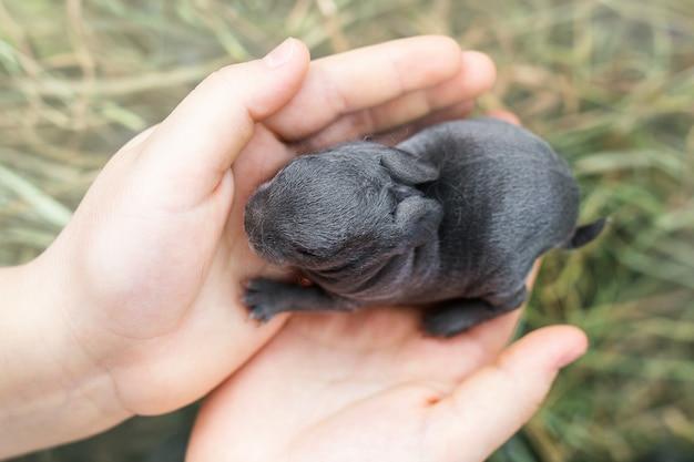 Małe szare i czarne nowonarodzone ślepe króliki