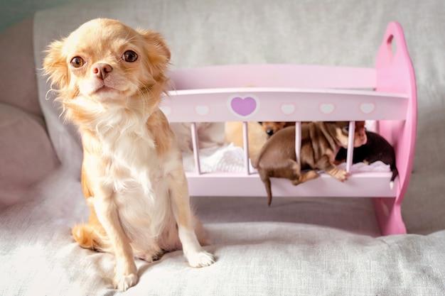 Małe szczenięta chihuahua leżące na zabawkowym różowym drewnianym łóżku, a ich mama na pierwszym planie