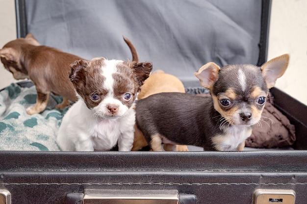 Małe szczenięta chihuahua siedzą w czarnej walizce, gotowe do podróży.
