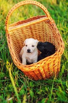Małe szczenięta hodują toy fox terrier w lecie parku na zielonej trawie, siedząc w wiklinowym koszu