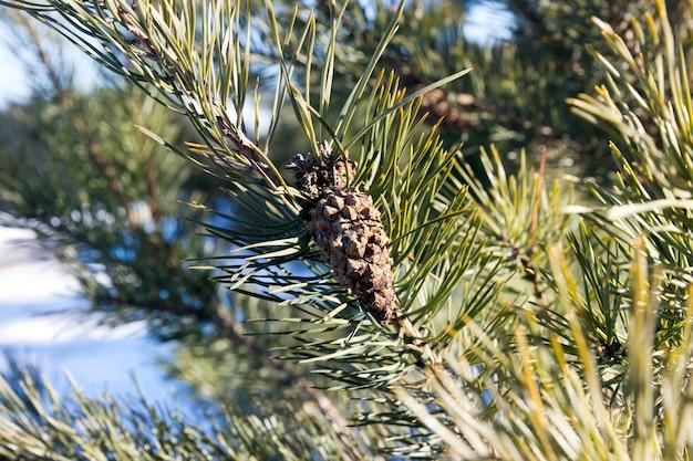 Małe szyszki na gałęziach drzew, z bliska