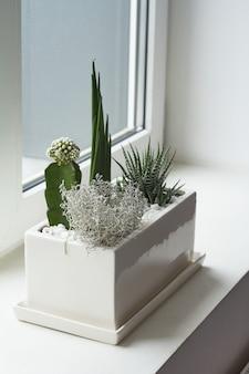Małe wielobarwne kaktusy i sukulenty w dużym białym garnku na parapecie