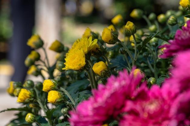 Małe żółte dzikie chryzantemy w parku