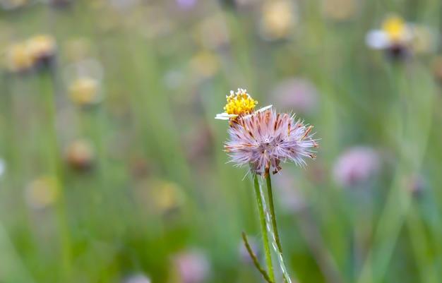 Małe żółte kwiaty na łące, wybrane skupienie