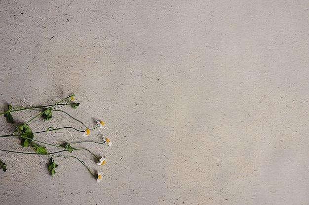 Małe żółte kwiaty rumianku na szarym betonowym tle