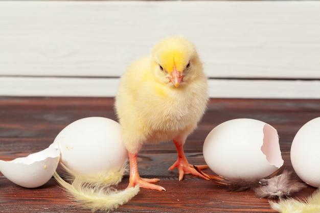 Małe żółte pisklęta i skorupy jaj