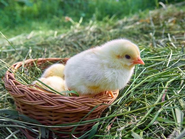Małe żółte pisklęta słodkie.