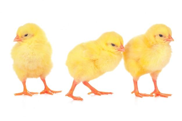 Małe żółte pisklęta