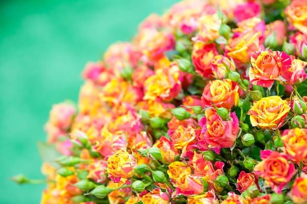 Małe żółto-czerwone róże. zamknąć widok
