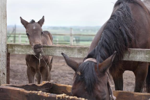 Małe źrebię i koń spacerują na łonie natury i jedzą siano