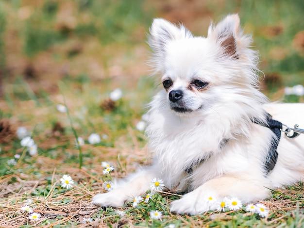 Małego psa chihuahua siedzą na ziemi w lesie z stokrotka kwiatami