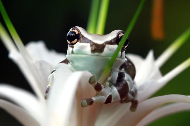 Maleńka żaba mleczna amazonka na zielonych liściach miś panda żaba drzewna