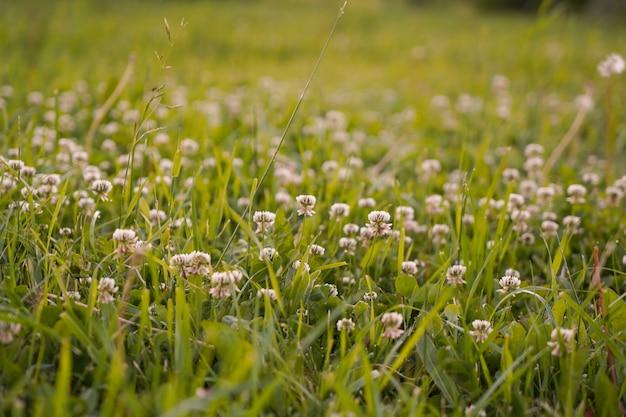 Mali białej koniczyny kwiaty kwitną na łące