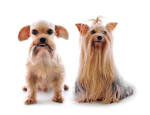 Mali śliczni psy pozuje w studiu