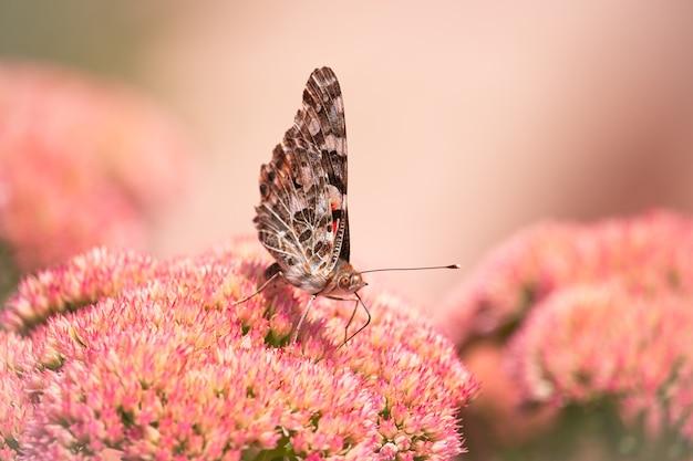 Malowana dama, cosmopolite (vanessa cardui) wysysająca rano nektar z żółtych kwiatów.