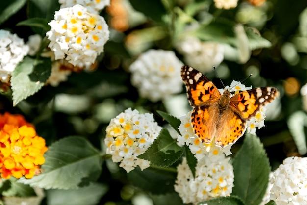 Malowany motyl (vanessa cardui) na kwitnącym krzewie z bliska