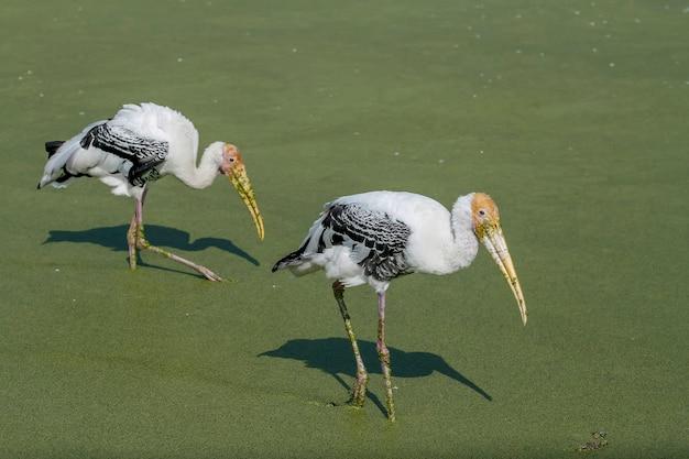 Malowany ptak bocian (mycteria leucocephala) je z wody