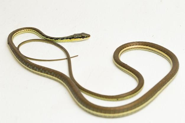Malowany wąż bronzeback (dendrelaphis pictus) na białym tle na białej powierzchni
