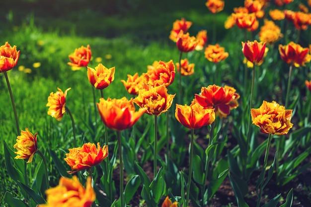 Malownicza łąka z pięknymi kwitnącymi pąkami żółtych pomarańczowych tulipanów.