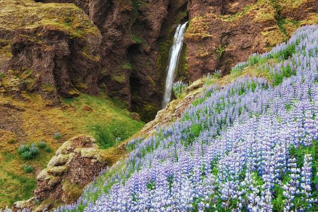 Malownicze krajobrazy lasów i gór islandii. dziki błękitny łubin kwitnie w lecie. najpiękniejszy wodospad