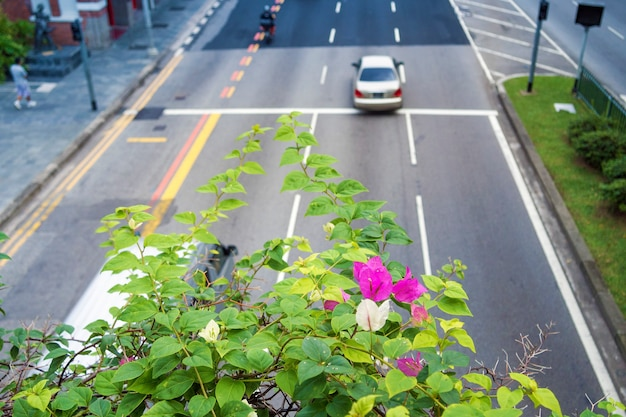 Malownicze kwiaty kwitnącego krzewu nad słynną ulicą hill w singapurze; skoncentruj się na kwiatach