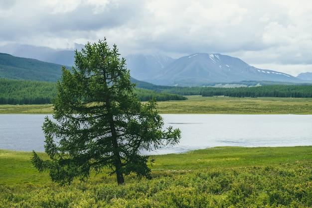 Malowniczy alpejski krajobraz z samotnym pięknym modrzewiem wśród traw i kwiatów w słońcu na tle górskiego jeziora i gór ze śniegiem w niskich chmurach. samotne drzewo iglaste w pobliżu górskiego jeziora