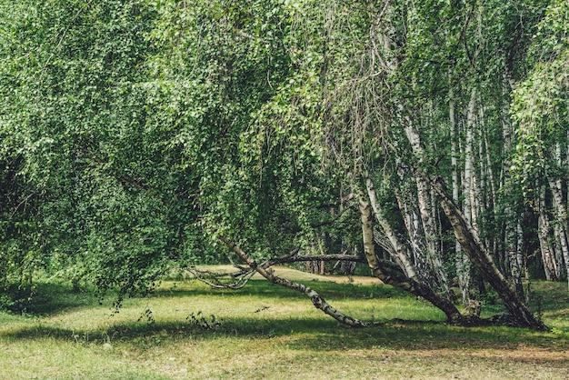 Malowniczy krajobraz leśny z rosyjskimi brzozami i zielenią w odcieniach vintage. żywa zielona letnia sceneria brzozowego gaju. zielone liście na gałęziach brzozy w słońcu. piękny słoneczny las brzozowy
