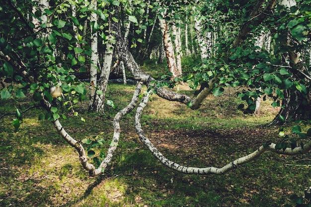 Malowniczy krajobraz leśny z rosyjskimi brzozami i zielenią w odcieniach vintage.