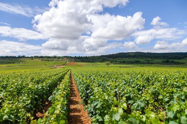 Malowniczy krajobraz winnicy