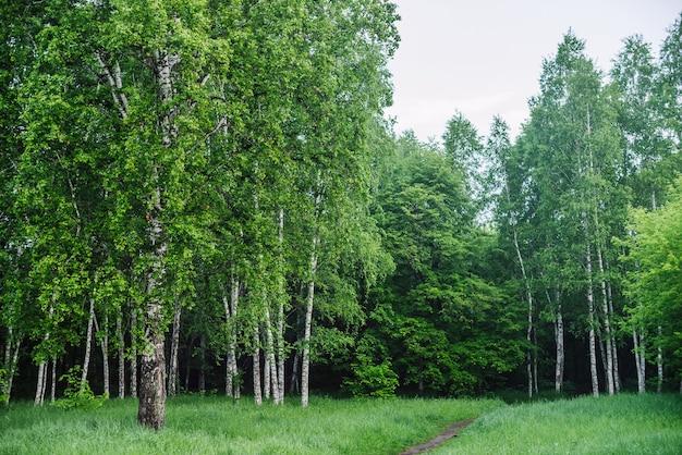 Malowniczy krajobraz z chodnikiem wśród ładnych drzew w parku. zielona sceneria ze ścieżką wśród pięknych brzóz w lesie.