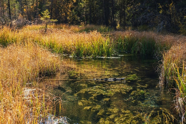 Malowniczy krajobraz z czystą wodą górskiego potoku z zielonymi roślinami i mchem wśród traw w jesiennym lesie. podwodna flora na dnie pięknego górskiego potoku z przezroczystą powierzchnią wody.