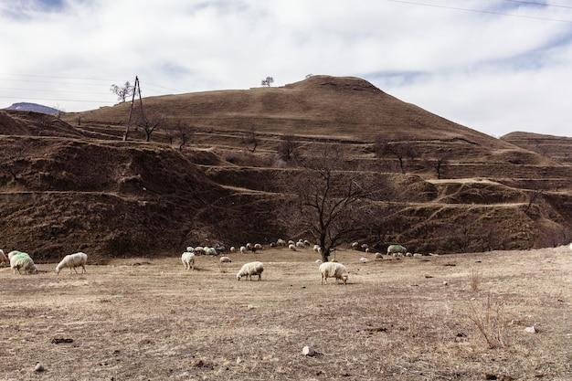 Malowniczy krajobraz z żywym inwentarzem. dagestan, rosja. zdjęcie wysokiej jakości
