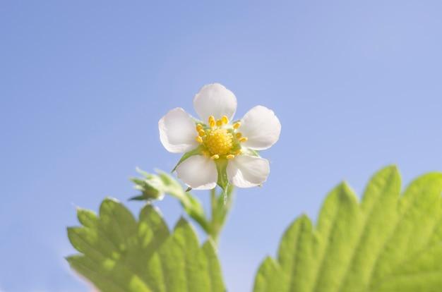 Malowniczy kwiat truskawki na tle błękitnego nieba