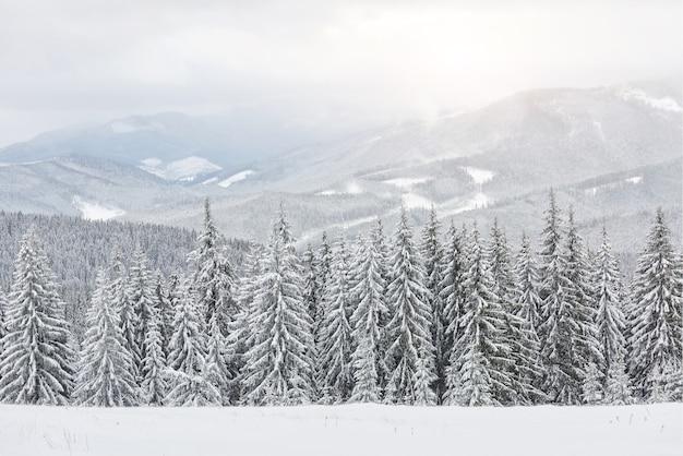 Malowniczy obraz świerków. mroźny dzień, spokojna zimowa scena. lokalizacja karpaty, ukraina europa. ośrodek narciarski. świetny obraz dzikiego obszaru. poznaj piękno ziemi. koncepcja turystyki. szczęśliwego nowego roku!