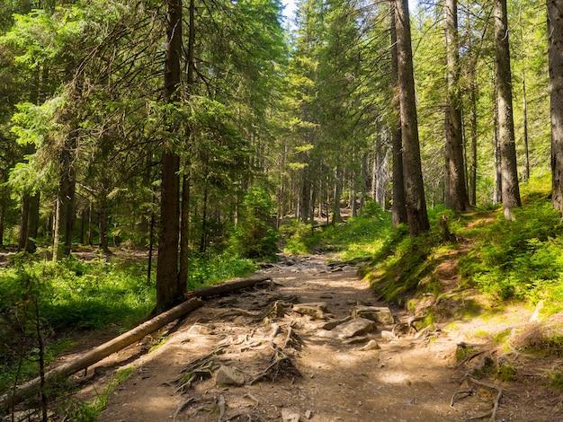 Malowniczy szlak pełen korzeni w środku lasu iglastego