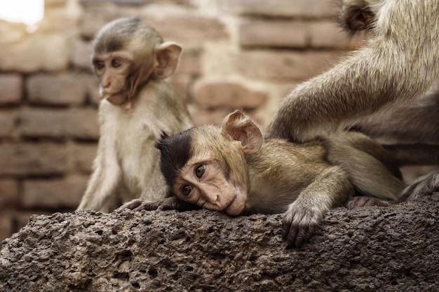 Małpa bawi się na cegle zoo.