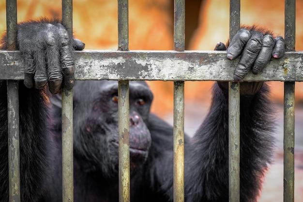 Małpa cage