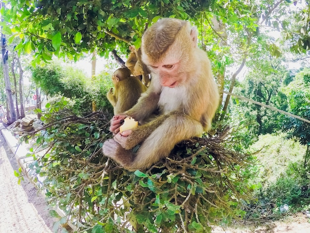 Małpa je ciasteczka tai widok z przodu